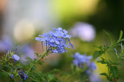 Free stock photo of blue flowers, flower