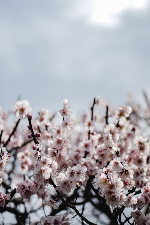 White and Pink Cherry Blossom Flowers in Bloom