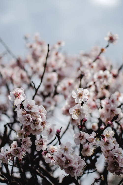 White Cherry Blossom in Bloom
