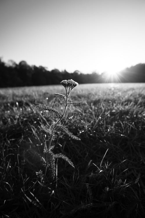 Grayscale Photo of Flower on Grass Field