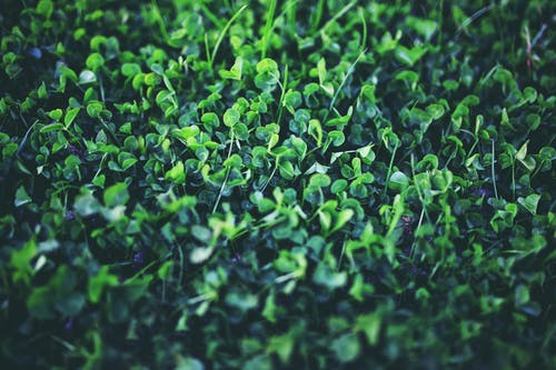 Kostenloses Stock Foto zu grün, klee, kleeblatt, natur