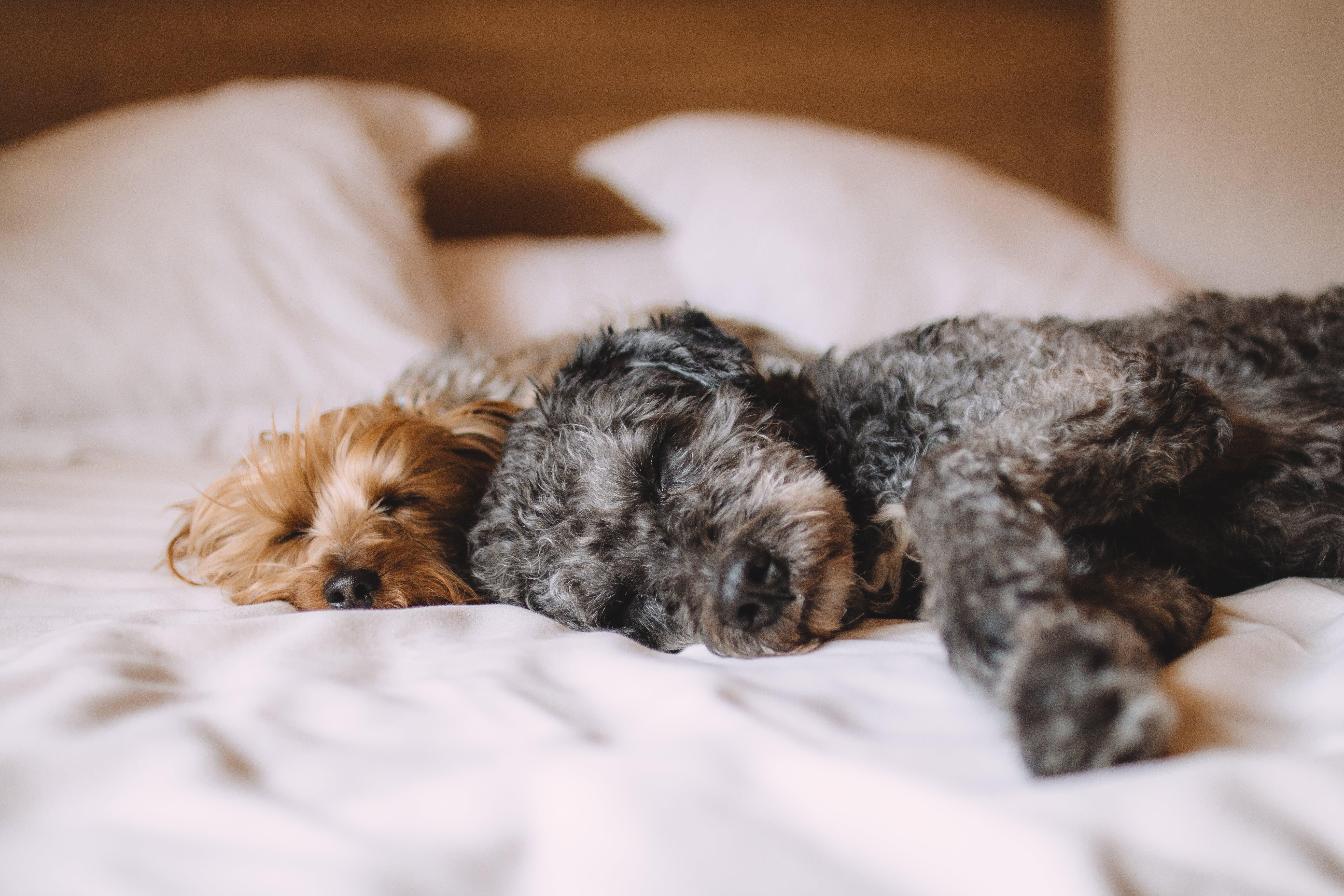 Gratis stockfoto met bed, beesten, hond, honden