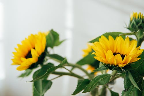 Bright blooming flowers with delicate yellow petals and green leaves placed against white wall