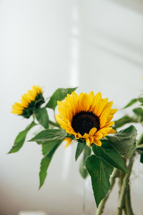Bouquet of bright sunflowers on green stems with leaves placed against white wall