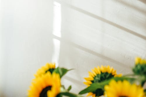 Fresh fragrant sunflowers with large buds placed against white wall with shadows at daylight