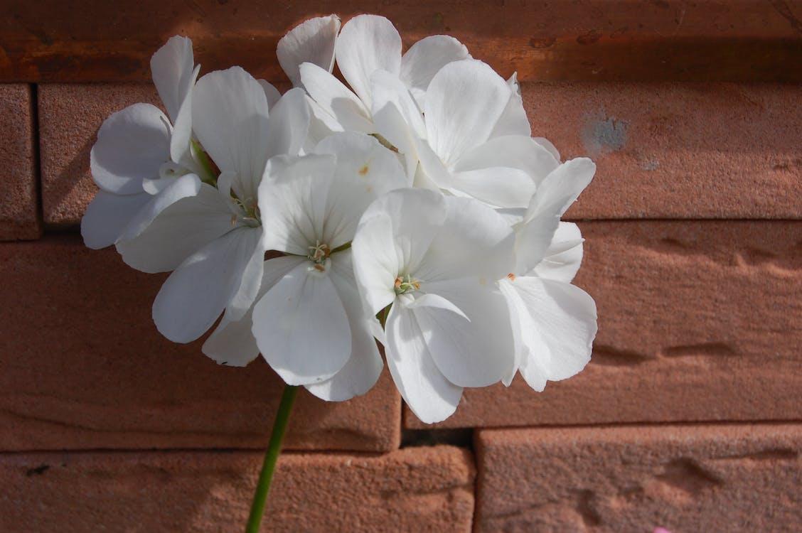 Free stock photo of fleur, Flore, white