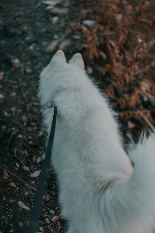 Free stock photo of dog, husky