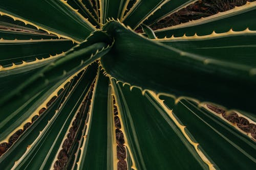 Top background closeup view of bright succulent plant with thorny stalk edges growing on dry land
