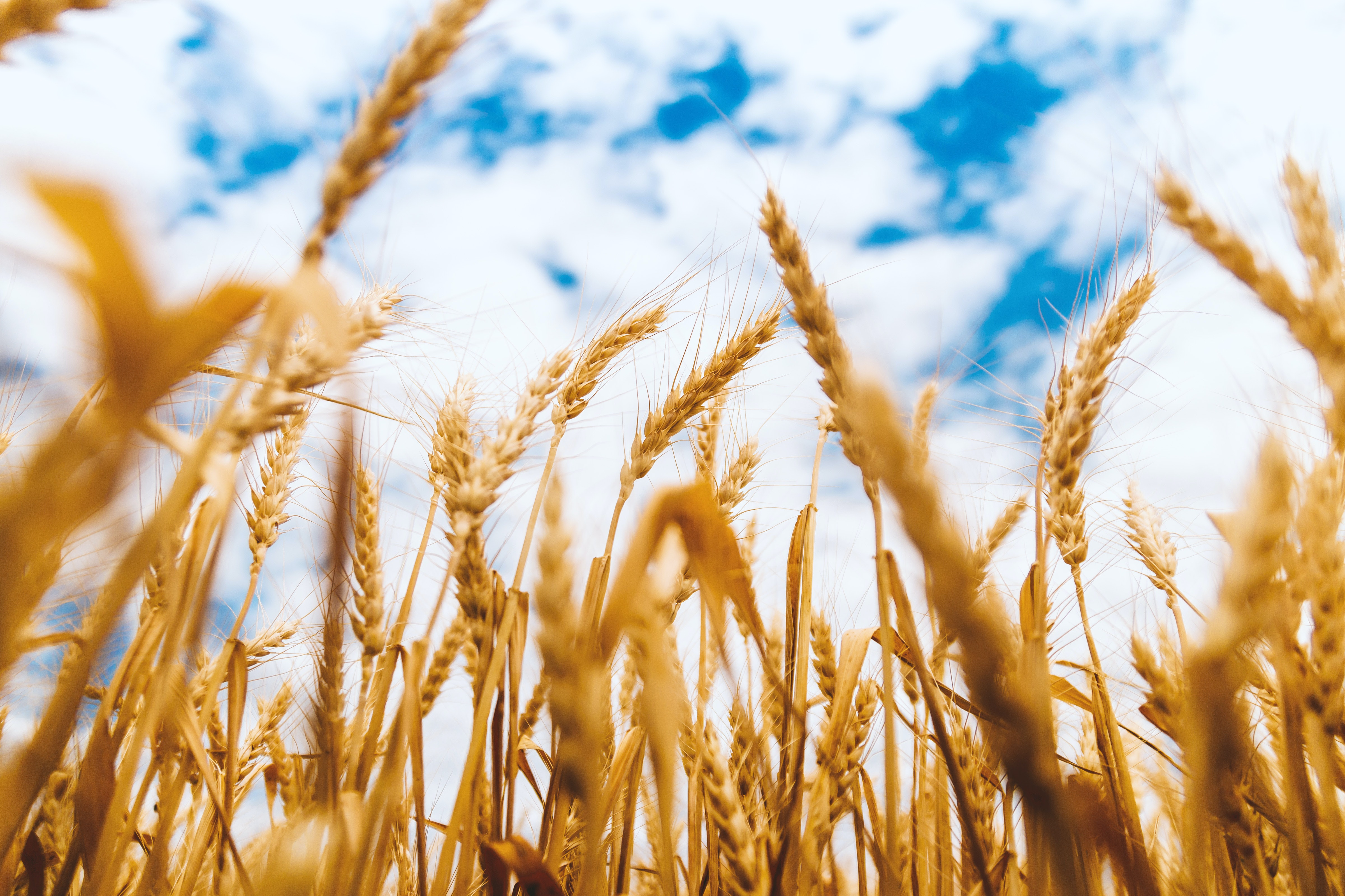 Free Stock Photo Of Agriculture Arable Barley