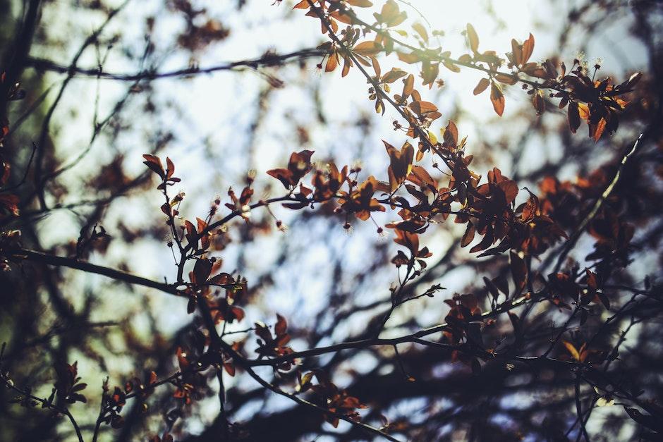 Prunus cerasifera / Cherry plum
