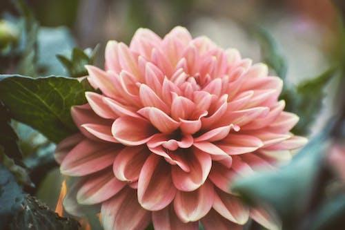 Fotobanka sbezplatnými fotkami na tému broskyňa, broskyňová farba, fotografia prírody, krásna príroda