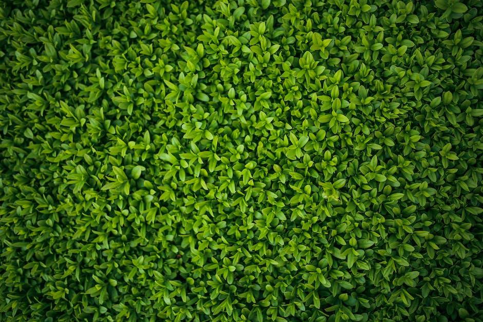 Green leaves privet ligustrum