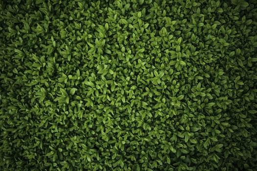 Green leaves - Privet / Ligustrum