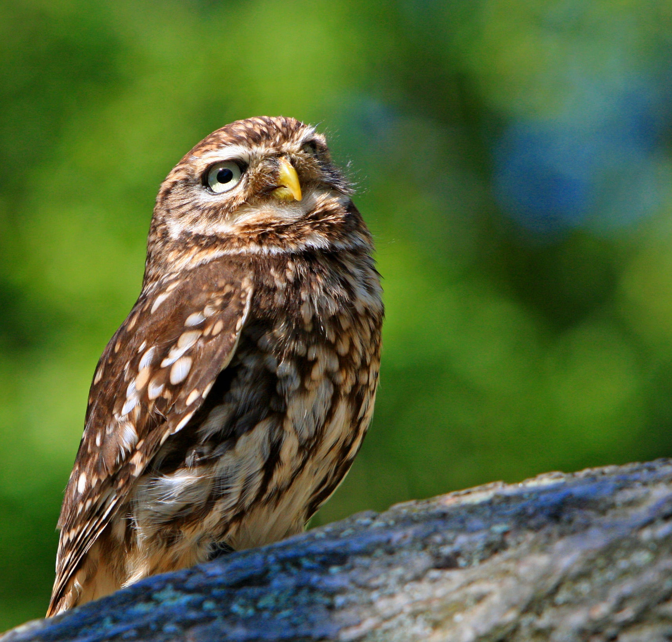 Brown White Owl in a Green Blurry Background