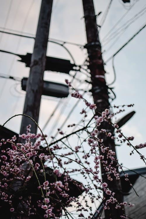 Ingyenes stockfotó alacsony szögű felvétel, cseresznyevirág, elektromos pólus témában