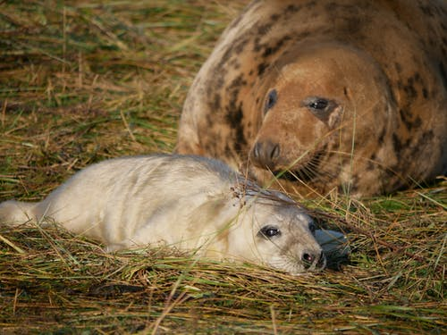 Free stock photo of #seals #sealpup