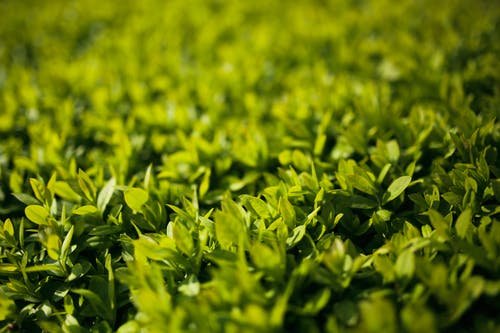 Green leaves - Privet / Ligustrum
