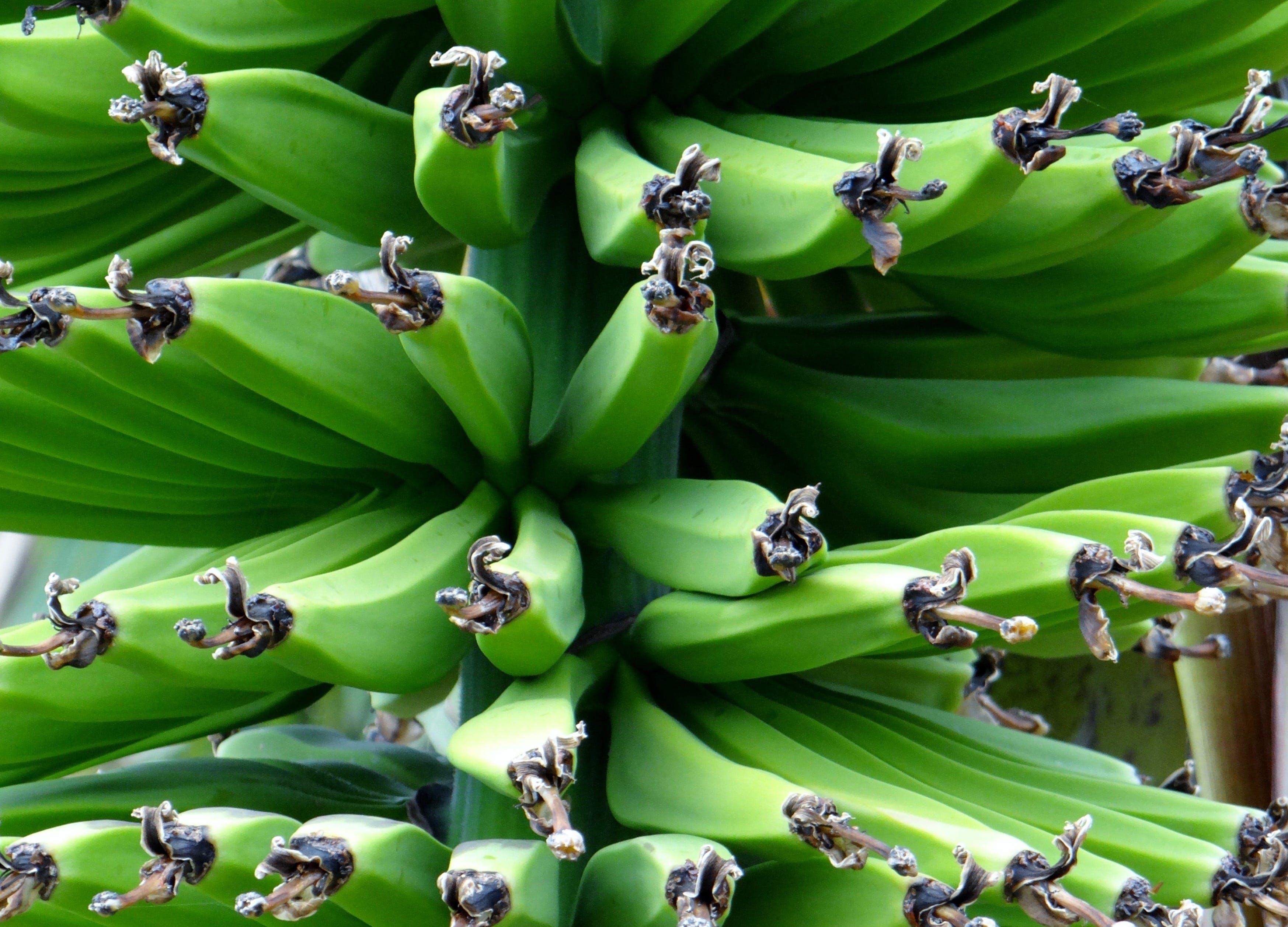 Kostnadsfri bild av bananer, frukt, grön, hälsosam