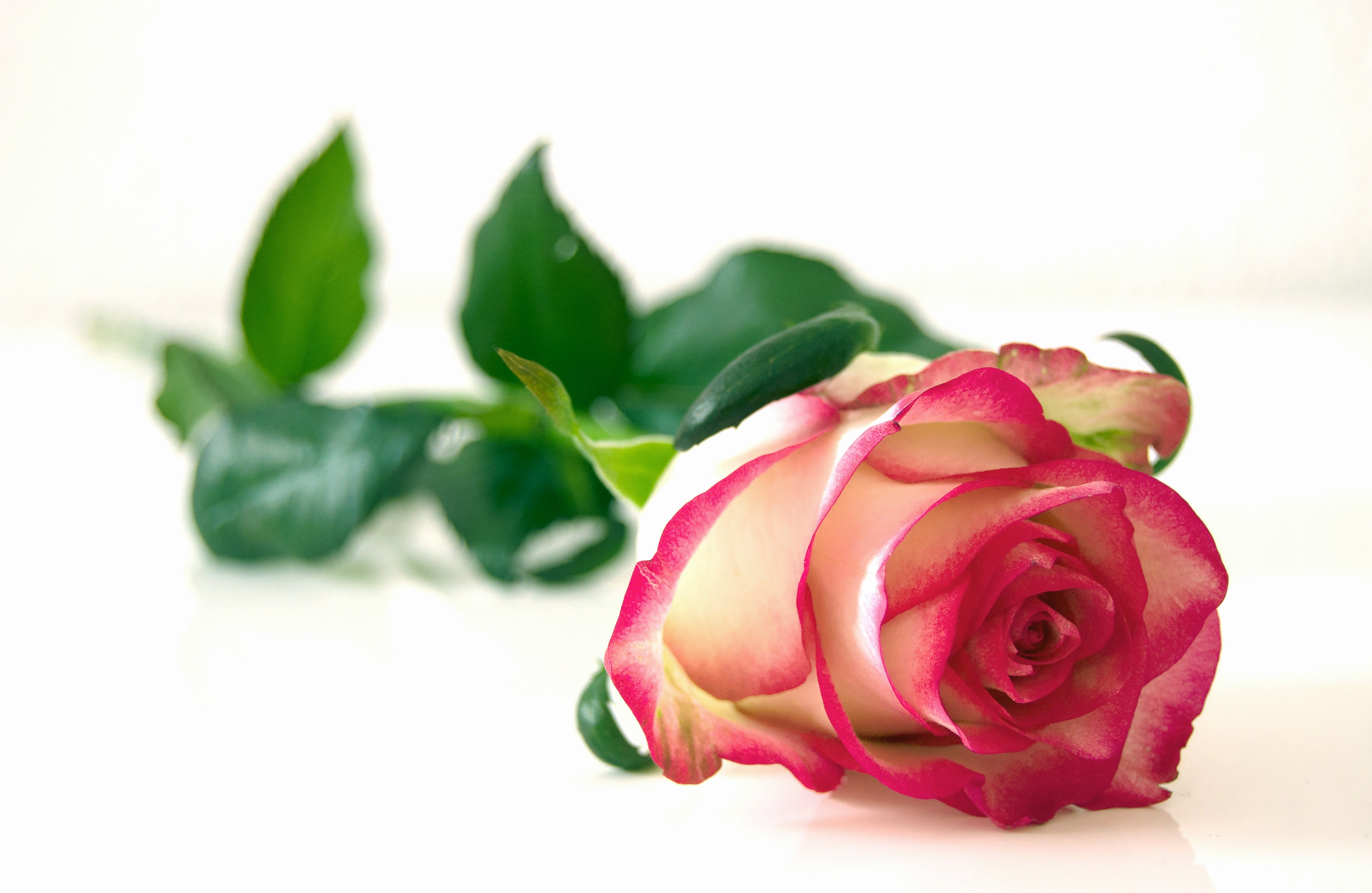 Pink And White Rose Flower Free Stock Photo