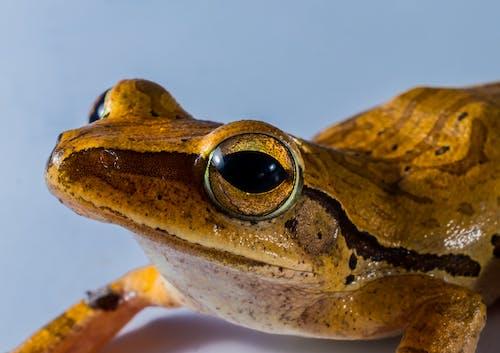 Foto d'estoc gratuïta de amfibi, animal, granota, primer pla