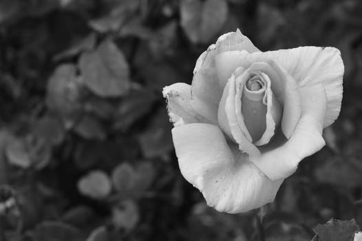 Flower black and white photo free stock photo free stock photo of black and white love petals blossoms mightylinksfo