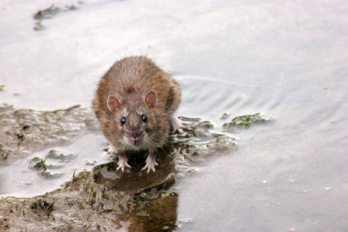 Close Up Shot of a Brown Rodent
