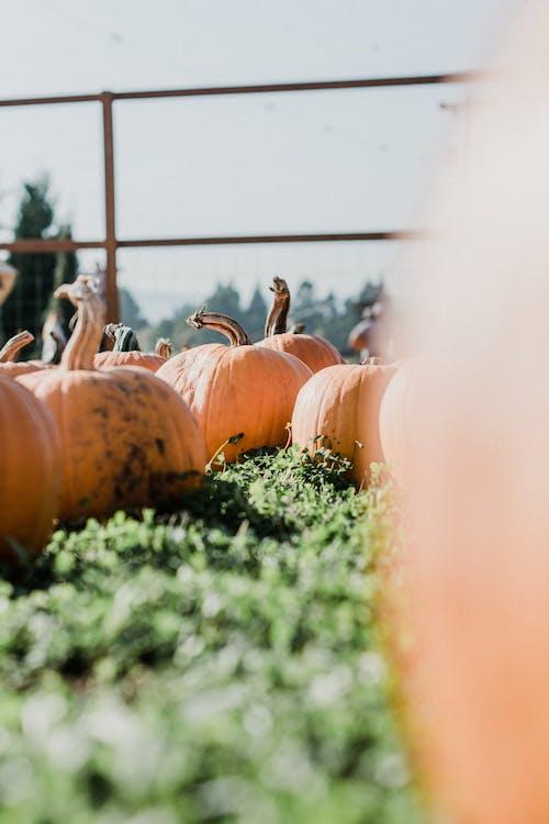 Pumpkins on Ground