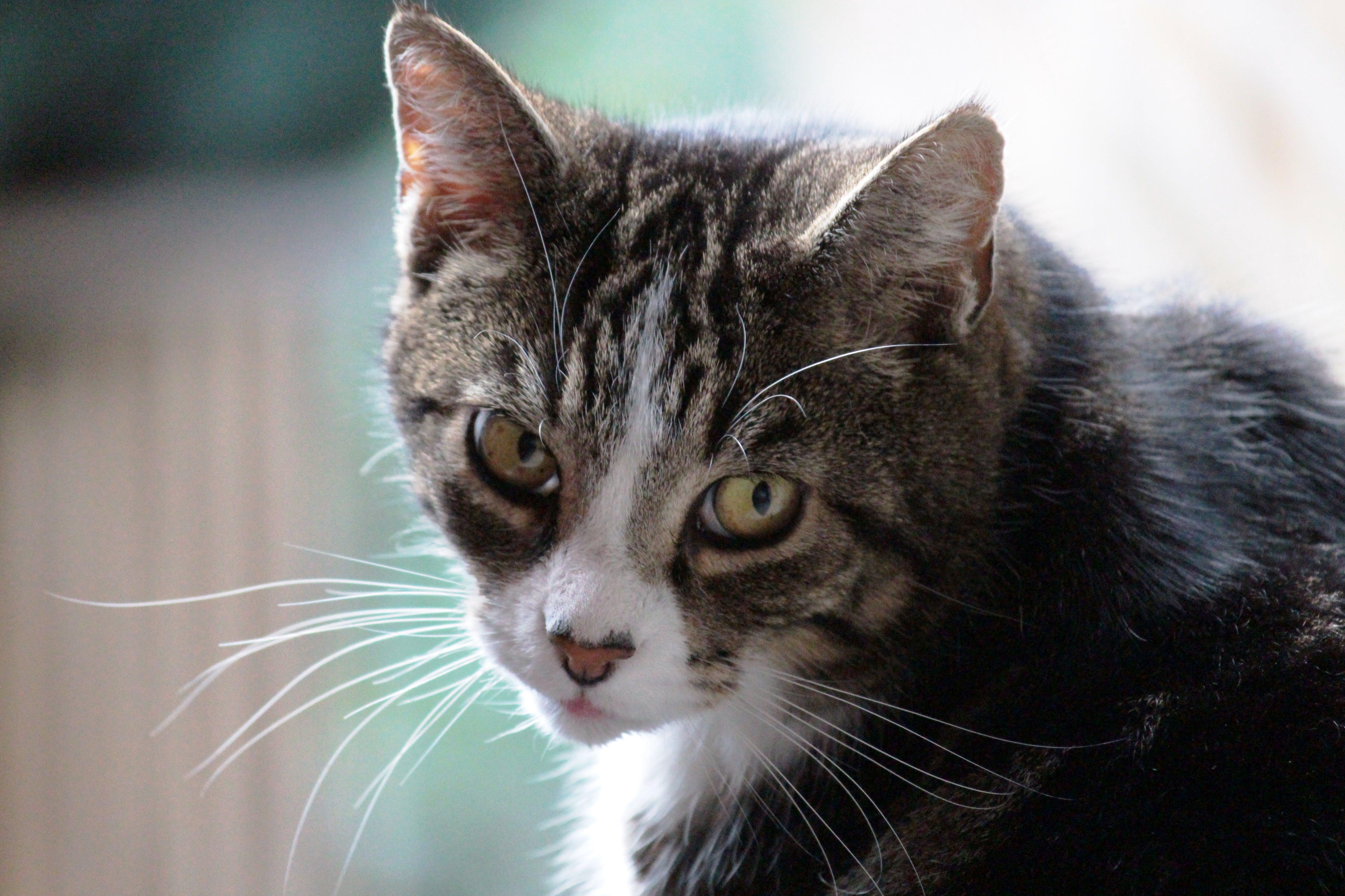 animal, beautiful, cat