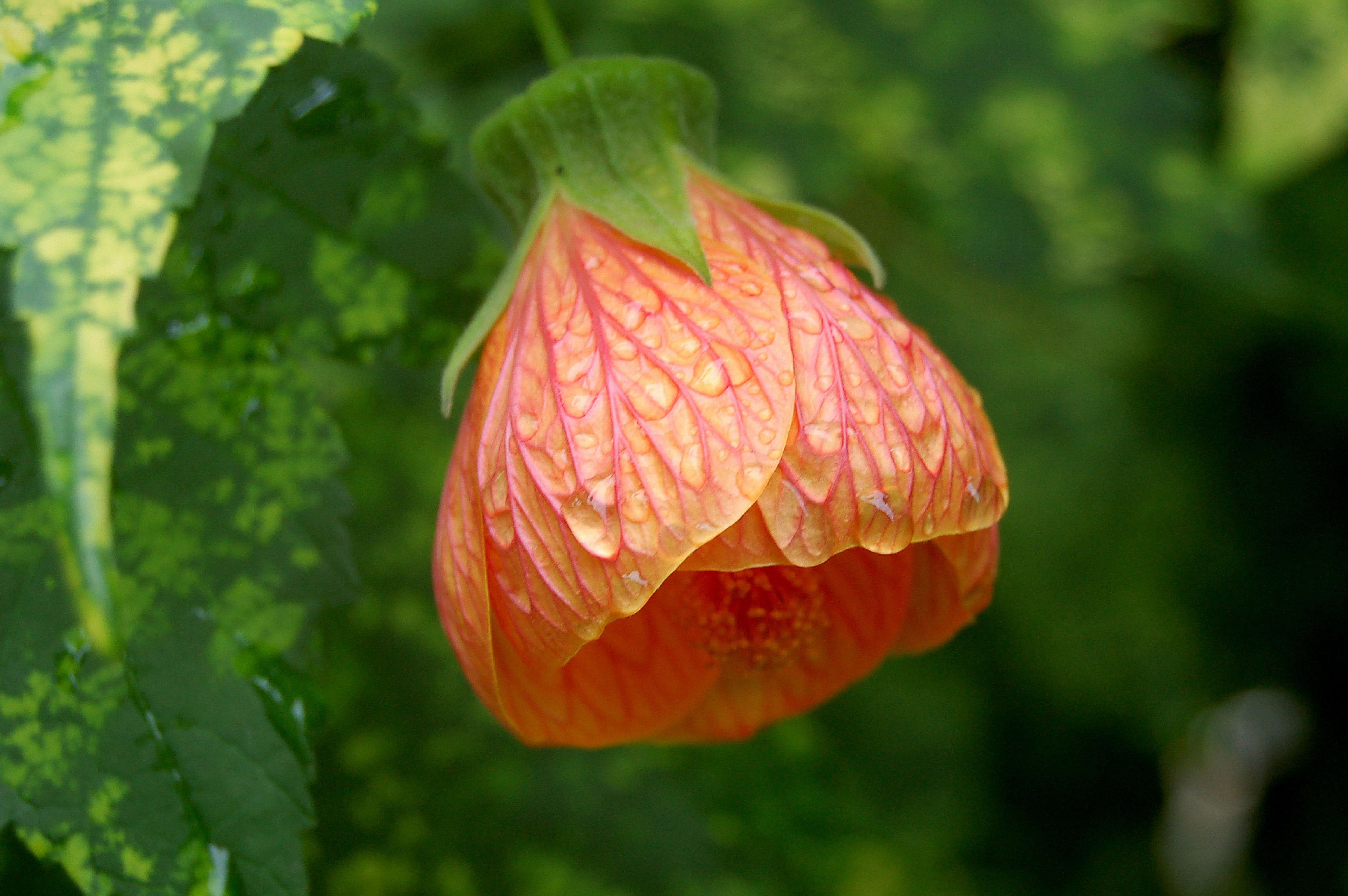 Orange Abutilon Flower in Close-up Photography
