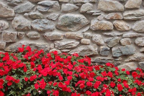 Безкоштовне стокове фото на тему «flore, камінь, квіти, Стіна»