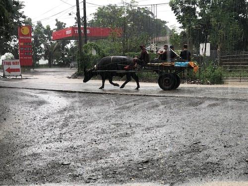Free stock photo of buffalo, carabao, rain