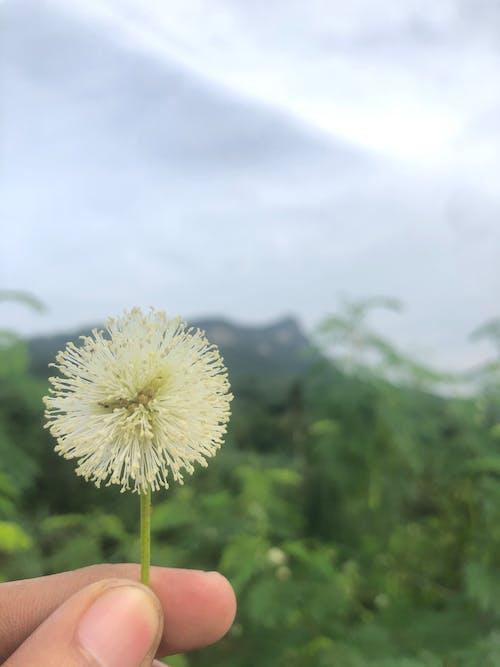 Free stock photo of dandelion, flower, nature