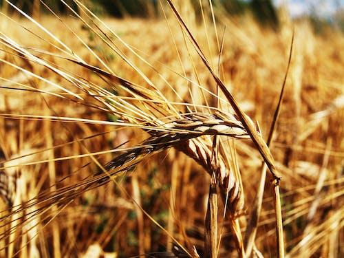 Photos gratuites de agriculture, blé, campagne, clairière