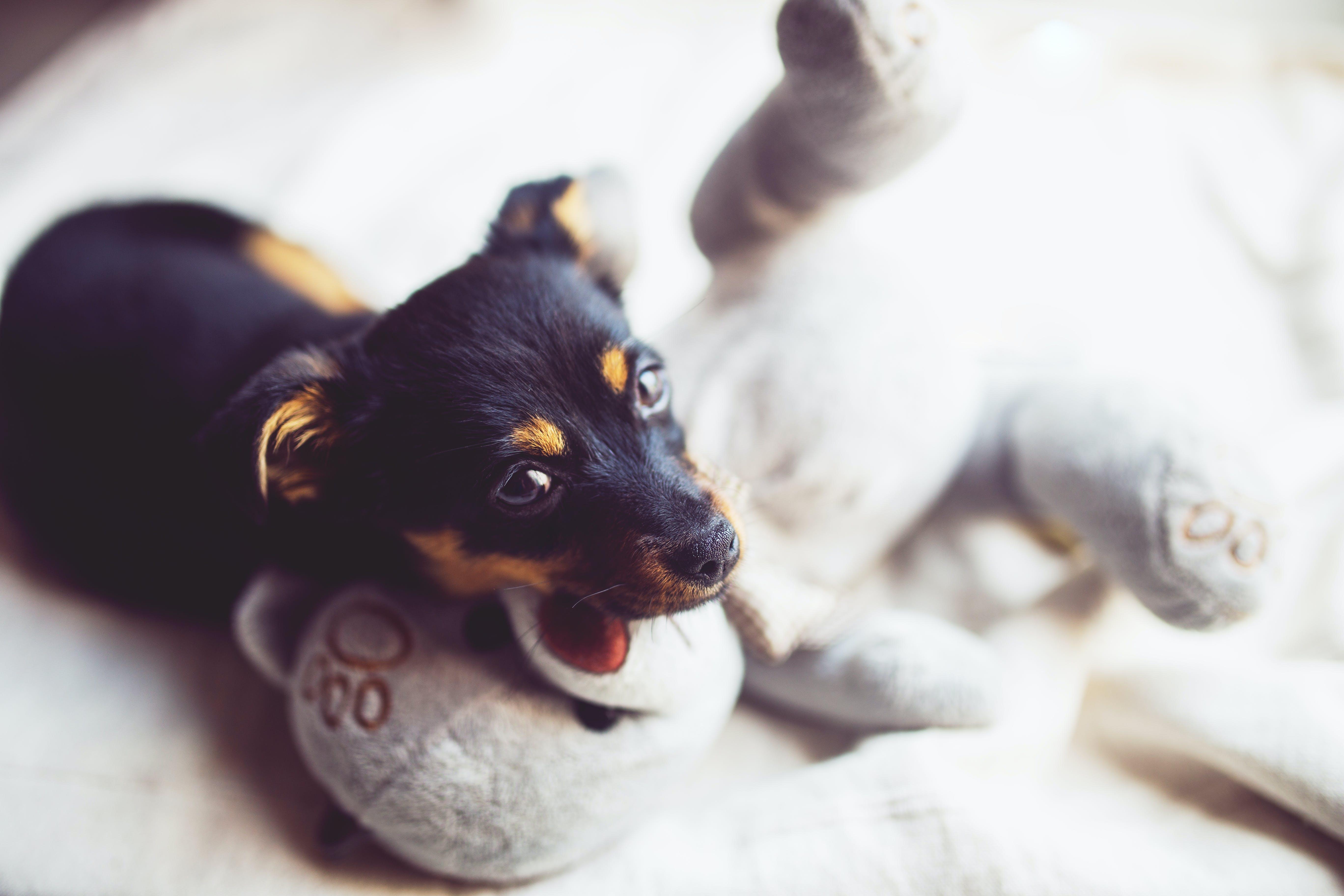 Puppy with teddy bear
