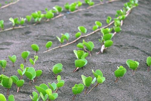 Free stock photo of beach sand, green, growing