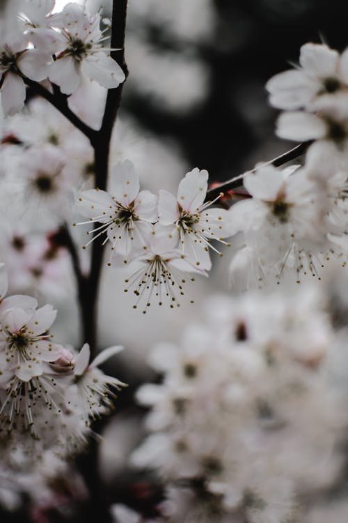 Delicate White Cherry Blossoms in Close Up Photography