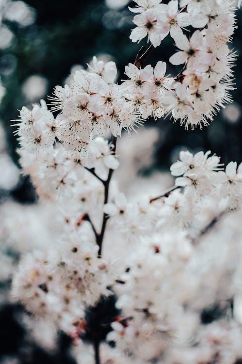 Close-Up Shot of White Cherry Blossoms