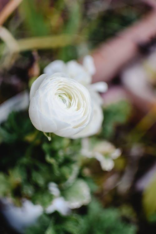 คลังภาพถ่ายฟรี ของ กลางแจ้ง, กลีบดอก, กลีบดอกไม้