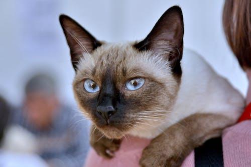 Close Up Shot of a Siamese Cat