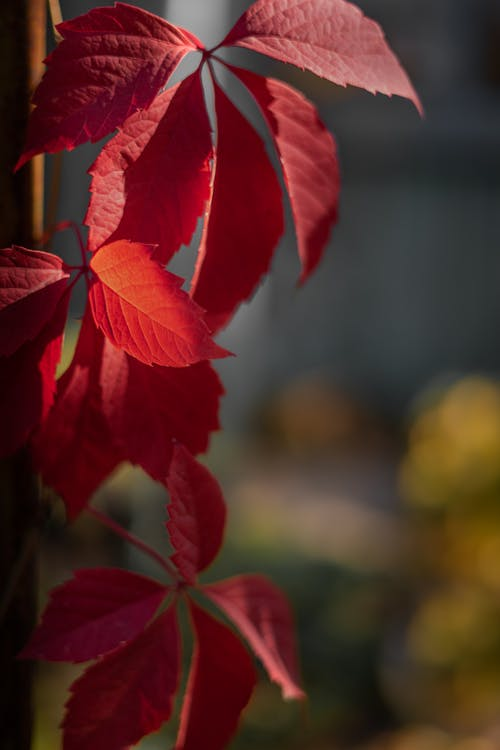 Lush foliage of bright red color of plant growing on blurred background in fall time