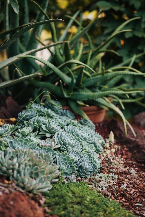 Succulents on the Garden