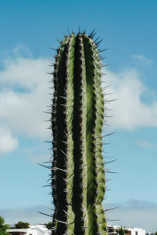 Huge cactus with sharp prickles growing in countryside against cloudy sky in countryside near roofs of houses in summer day