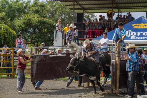 People Riding Black Cow