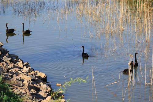 Free stock photo of Черные лебеди