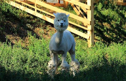 Free stock photo of Чудесная стрижка ламы