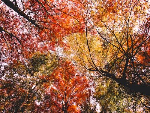 Gratis lagerfoto af ahorn, blad, efterår