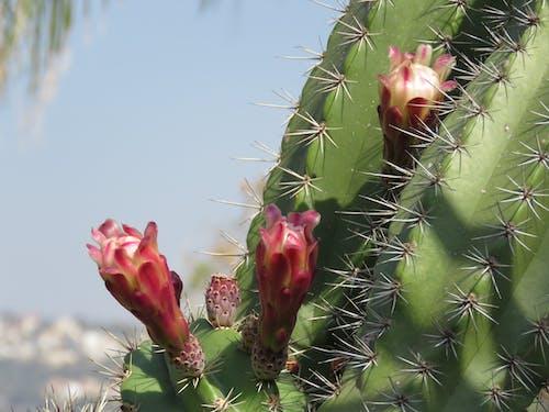 Ingyenes stockfotó kaktos, természet, virág témában