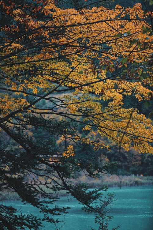 Yellow Leaf Tree Near Body of Water