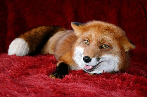 Hairy fox with fluffy fur and bushy tail and mouth opened lying on blanket