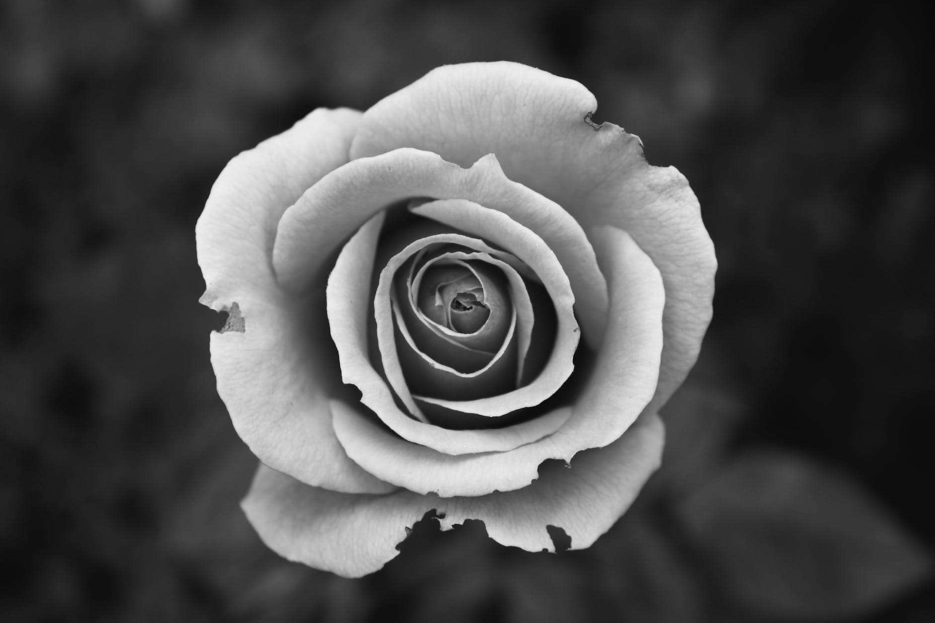 gambar bunga mawar hitam putih simple